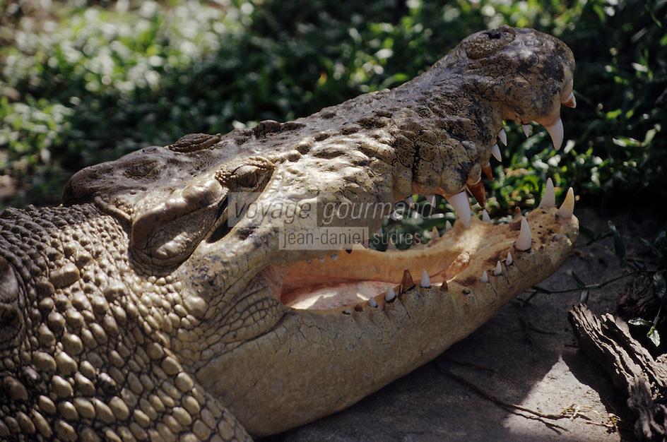 Océanie/Australie/Queensland/Cairns: Crocodile dans la Rainforest