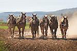 Stoltzfus Farm. Belgium six team work horses cultivating.
