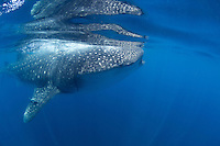 Side view of a whale shark in Holbox, Mexico.