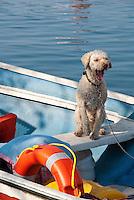 Italy, Veneto, Lake Garda, near Garda, Punta San Vigilio: dog waiting in a boat for his owner, gaping | Italien, Venetien, Gardasee, bei Garda, Punta San Vigilio: Hund wartet im boot auf Herrchen und gaehnt