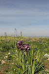 Israel, Mount Gilboa Iris (Iris haynei) on Mount Gilboa