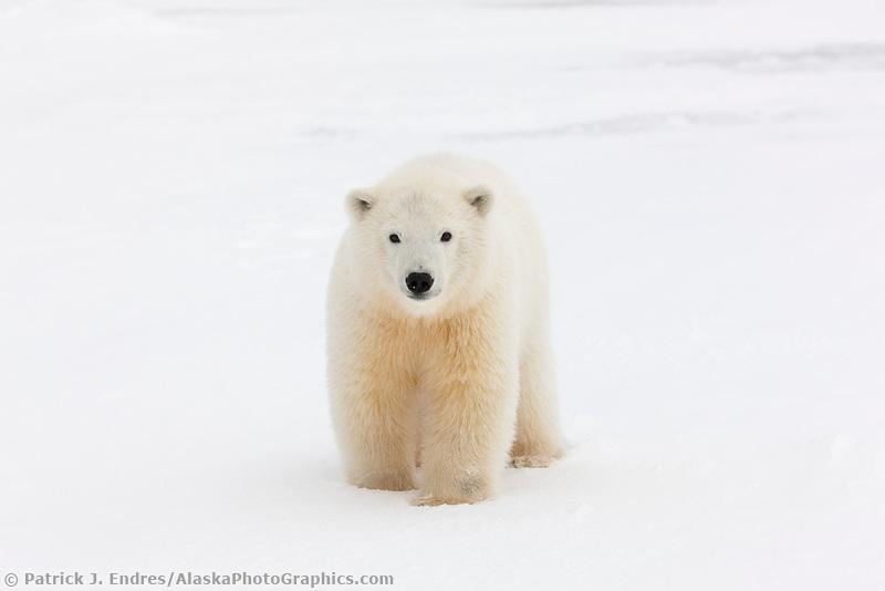 Young polar bear cub in the snow on a barrier Island, arctic, Alaska.