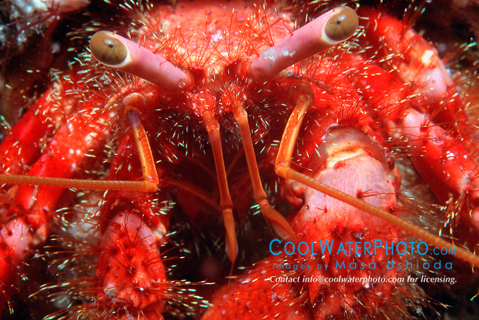 hermit crab, Dardanus sp., .Wannai, Osezaki, Izu Peninsula, .Suruga Bay, Japan (Pacific)