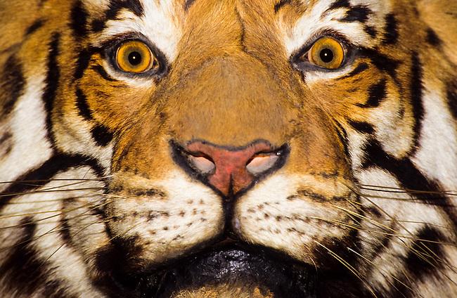 A close up portrait of a bengal tiger