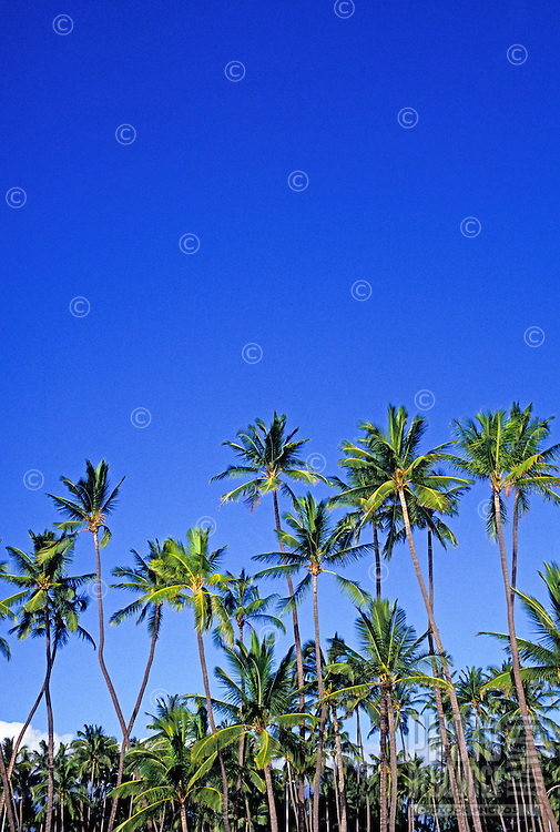 A large grove of coconut palms creates a dramatic presence against a brilliant azure blue sky.