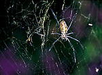 Nephila Spider, Female and Male on web, showing smaller size of male to larger female, West Africa. .Gambia....