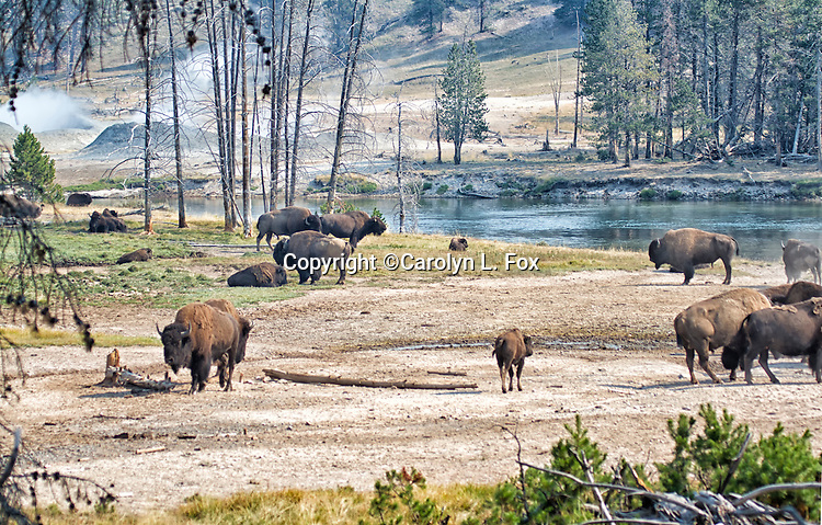 Bison stand by a river in Yellowstone National Park in Wyoming.