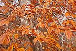 American Beech (Fagus grandifolia) on the Beech Forest Trail, Cape Cod National Seashore, Provincetown, Cape Cod, MA, USA