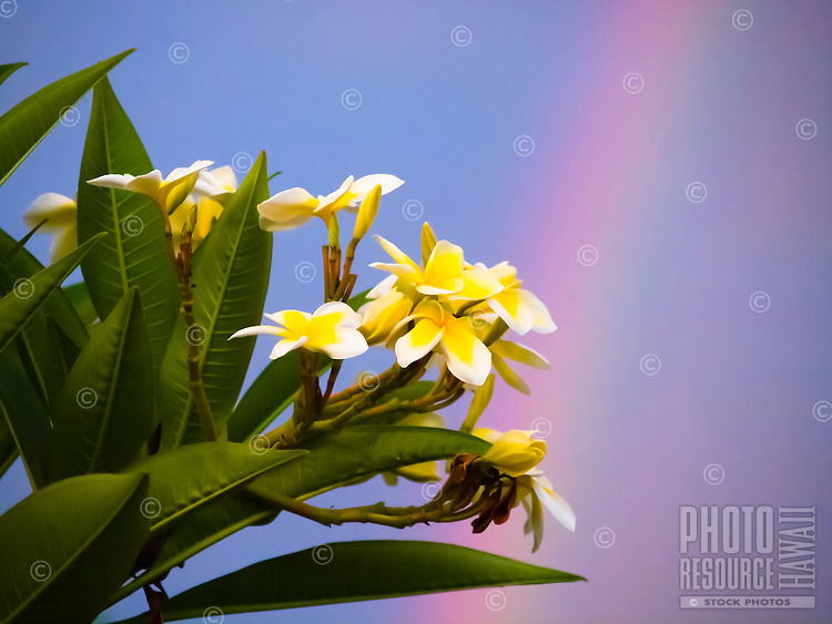 A cluster of plumeria backed by a rainbow after a rain shower, Big Island.