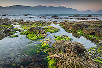 Dusk on rocky shores of Kaikoura coastline with Kaikouras mountains in background and seaweed, Kaikoura, Marlborough Region, South Island, East Coast, New Zealand
