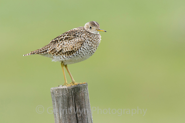 Upland Sandpiper (Bartramia longicauda) perched on a fence post. Alberta, Canada. June.