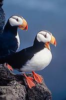 horned puffin pair, Fratercula corniculata, Pribilofs Island, Alaska, Bering Sea
