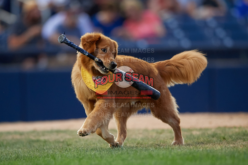 Trenton Thunder Bat Dog Rookie in action during an Eastern League game against the New Hampshire Fisher Cats on August 20, 2019 at Arm & Hammer Park in Trenton, New Jersey.  New Hampshire defeated Trenton 7-2.  (Mike Janes/Four Seam Images)