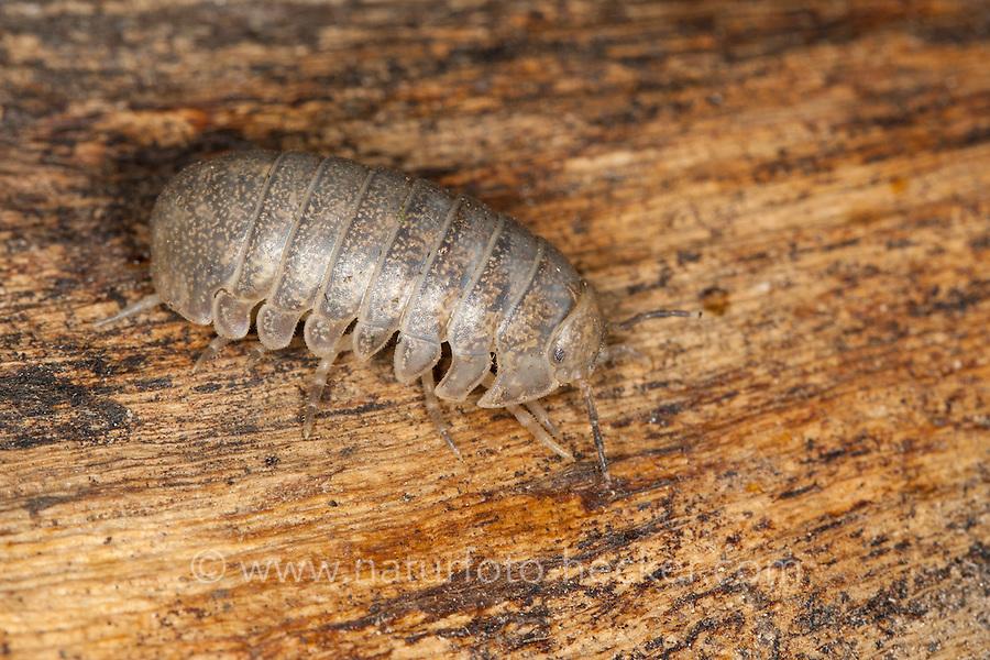 Riesen-Rollassel, Riesenrollassel, Große Rollassel, Helleria brevicornis, pillbug, pill bug. Korsika, Corsica