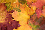 Norway maple leaves, Acer platanoides, in autumn, UK