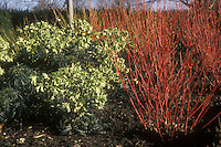 Cornus alba Sibirica (Siberian dogwood winter interest red stems) & Helleborus foetidus in flower in winter. GR1406