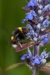 Buff-tailed bumblebee, Bombus terrestris, Bonsai Bank, Denge Woods, Kent UK