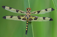 379000002 a wild teneral female banded pennant celithemis fasciata dragonfly in austin travis county texas