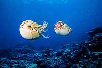 chambered nautilus, or pearly nautilus, Nautilus pompilius, Hick's Reef, Ribbon Reefs, Great Barrier Reef, Australia, Coral Sea, Pacific Ocean (cr)