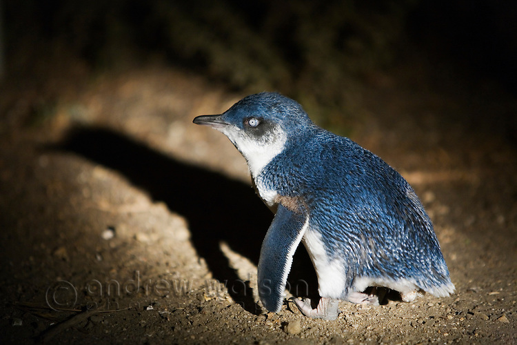 A fairy penguin (Eudyptula minor) returns to is burrow at Redbill Beach.  Bicheno, Tasmania, AUSTRALIA