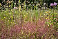 Purple love grass (Eragrostis spectabilis) flowering with Canada Rye and Brown-eye Susan wildflowers in Crow-Hassan Park, prairie reserve Minnesota