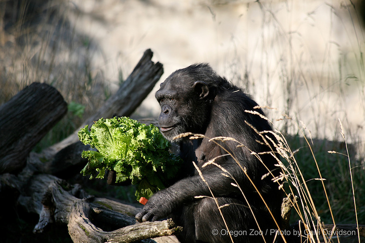 Chimpanzee (Pan troglodytes) Leah with part of her breakfast at the Oregon Zoo.