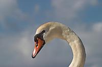 Höckerschwan, Höcker-Schwan, Schwan, Portrait Weibchen, Cygnus olor, Mute Swan, Cygne tuberculé, Cygne muet