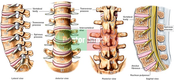 Normal Anatomy of the Lumbar Spine.