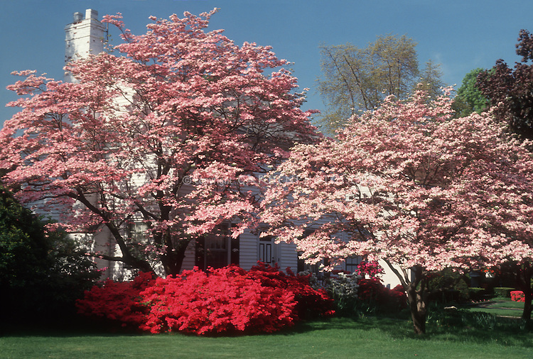 Cornus florida pink dogwood trees, red azalea rhododendron, house, spring flowering garden with blue sky