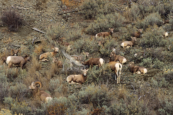 California Bighorn Sheep herd (Ovis canadensis), Western U.S.  Fall.