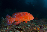 Coral hind, grouper, red grouper, Cephalopholis miniata, known commonly as the coral hind, is a species of marine fish in the family Serranidae. Other names include miniatus grouper, miniata grouper, coral or blue-spot rockcod, vermilion seabass, and coral grouper