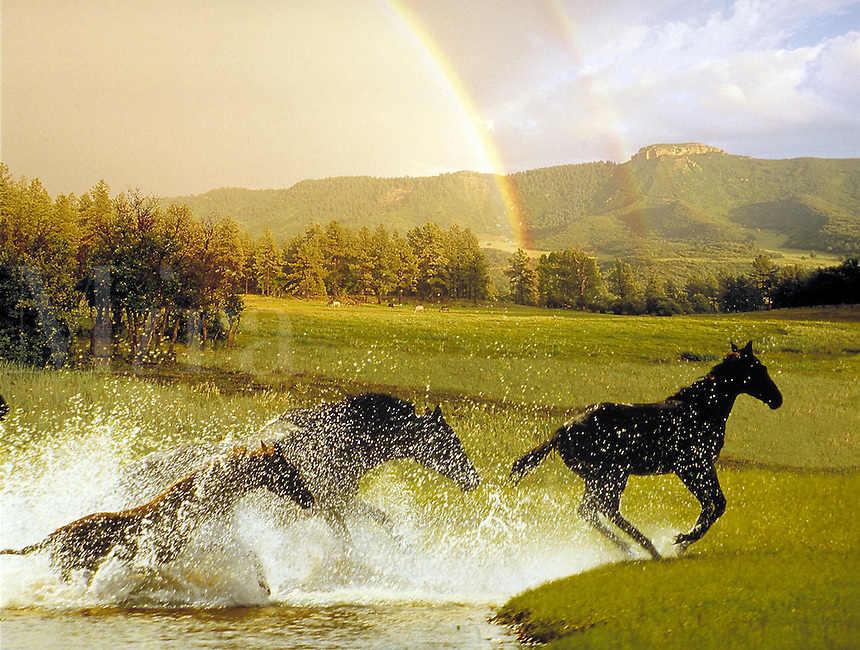Thoroughbred mare and foals splash through water with brilliant double rainbow and distant mountains. Power, Beauty, grace, fantasy, horse, animals, photo montage, special effects. Colorado.