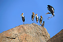 Group of painted storks (Mycteria leucocephala) roosting on rocky outcrop. Bera / Jawai, Rajasthan, India.