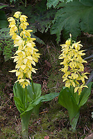 Calanthe sieboldii (Yellow Ebine Hardy Orchid) in garden showing entire plant habit and flowers