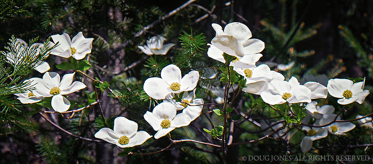 The first Pacific Dogwood bloom of the spring - near Sierra City, California.