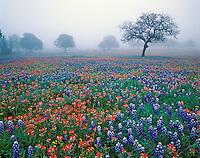Texas Bluebonnets and Texas Paintbrush on foggy morning, Texas Hill Country near Marble Falls, Texas