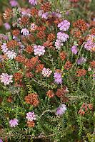 Glockenheide, Glocken-Heide, Moor-Glockenheide, Sumpfheide, Torfheide, Erica tetralix, Cross Leaved Heath, Cross-Leaved-Heath