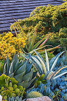 Drought tolerant Southern California mixed border with succulents: Golden Euonymous shrub at top left with succulents l-r: green Aeoniums, Agave 'Blue Glow', golden barrel cactus, two Blue Chalksticks: taller Senecio mandraliscae, shorter Senecio serpens, Agave americana 'Mediopicta Alba', and Aloe thraskii (right rear); Debra Lee Baldwin front yard garden