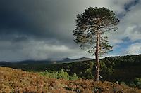 Scots Pine in Glen Einich, Rothiemurchus, Cairngorm National Park, Highland<br /> <br /> Copyright www.scottishhorizons.co.uk/Keith Fergus 2011 All Rights Reserved