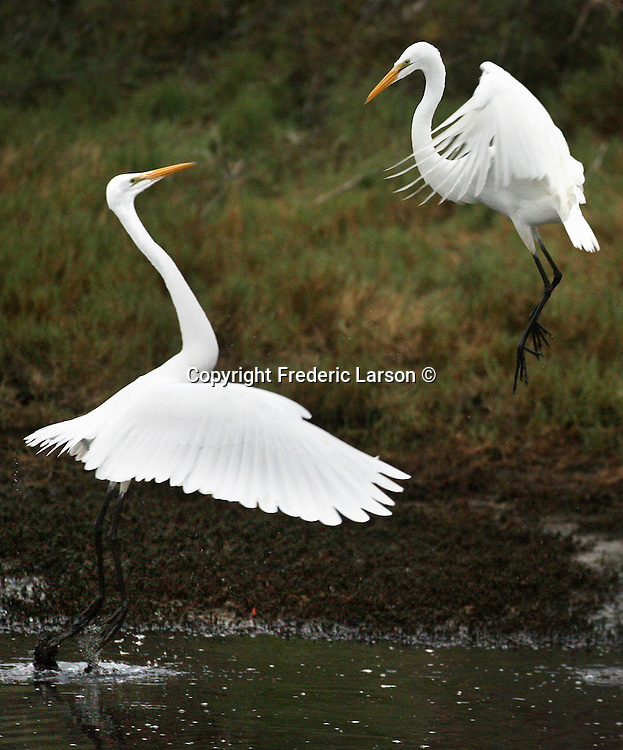 A group of graceful white egrets feeding in a wetland pond in Mill Valley, California.