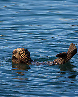 Southern Sea Otter pup stretching.  Central California coast.