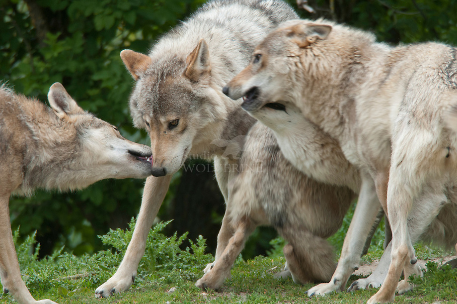 Wolf (Canis lupus), dominant gedrag