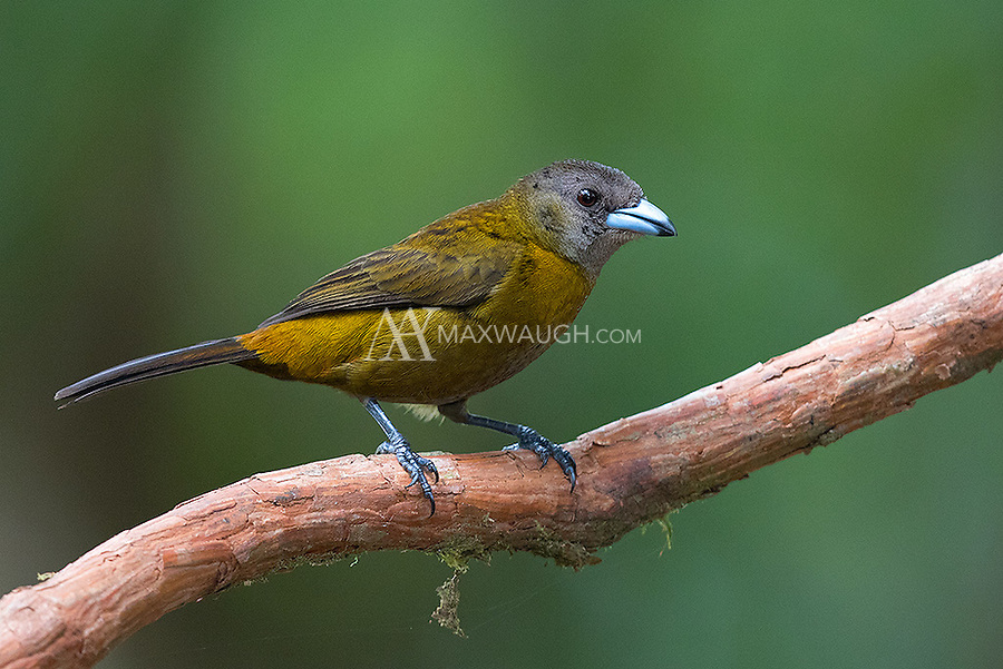 The female Passerini's tanager looks very different from the black and red male.