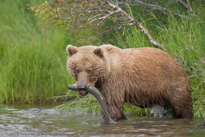 Brown bear with red salmon, Brooks River, Katmai National Park, Alaska