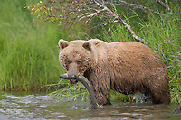 Brown bear with red salmon, Brooks River, Katmai National Park, Alaska