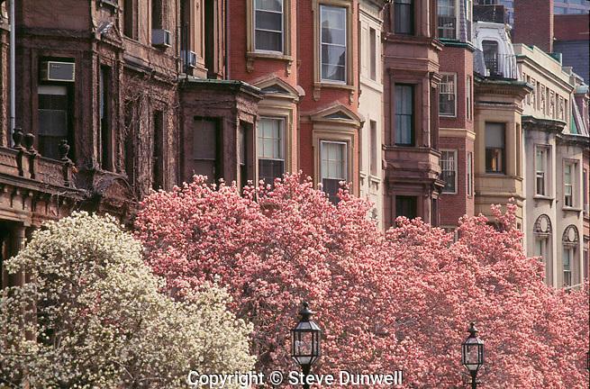 Magnolias,Commonwealth Avenue, Boston, MA