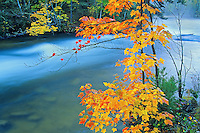 Red maple tree in autumn by Dryberry Creek<br /> Sioux Narrows<br /> Ontario<br /> Canada
