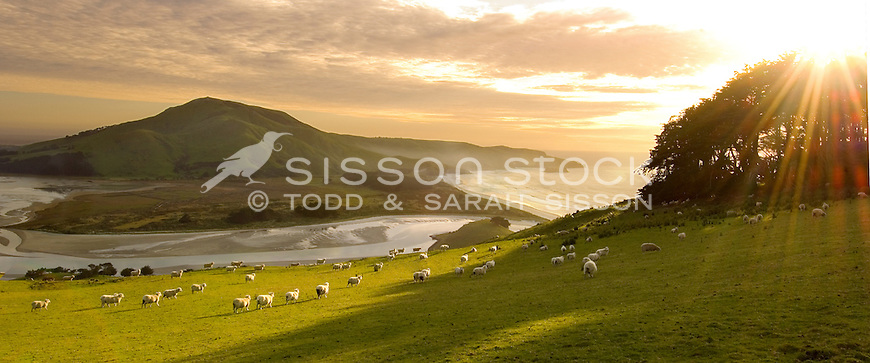 Sheep on green hills looking over Hoopers Inlet and Allans Beach, Otago Peninsula, South Island, New Zealand - stock photo, fine art, canvas print