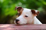 Emma. Jack Russel Terrier. Two and one half years. Head on table.
