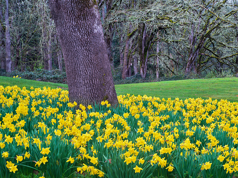 Daffodils under oak tree. Oregon Gardens. Oregon